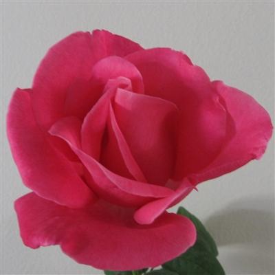 medium pink perfume delight rose plants